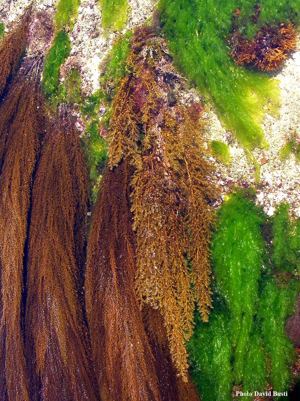 Sargassum-muticum-cystoseira-baccata1.jpg