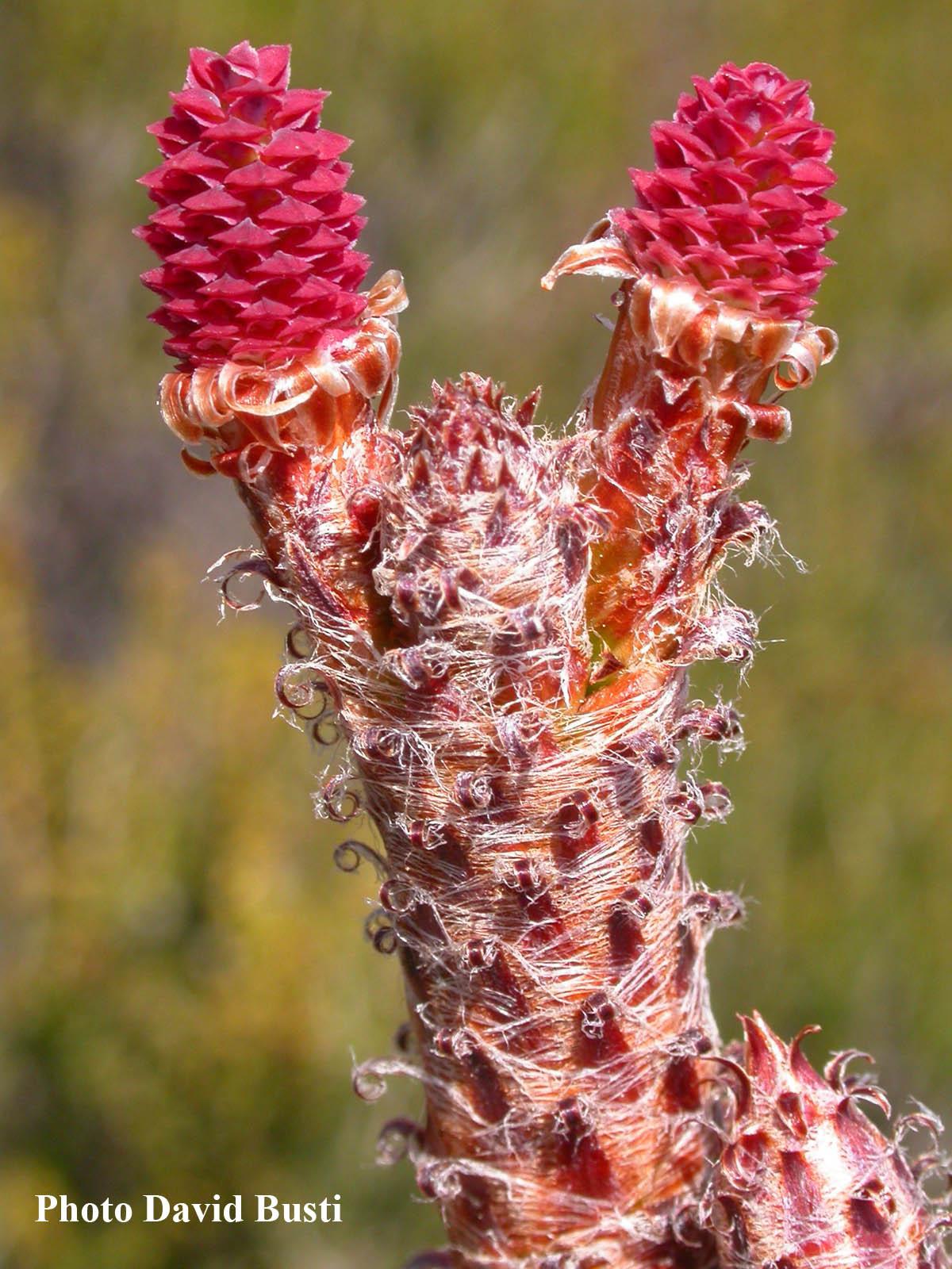 Pinus maritima-cones-femelles.JPG