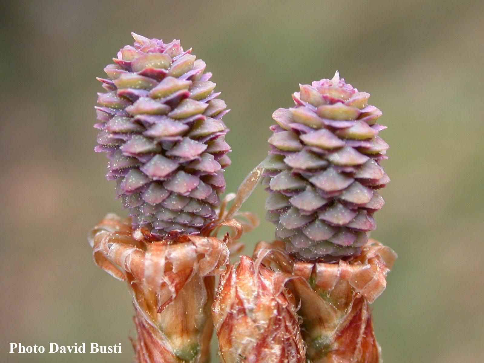 Pinus-halepensis-cones-femelles.jpg