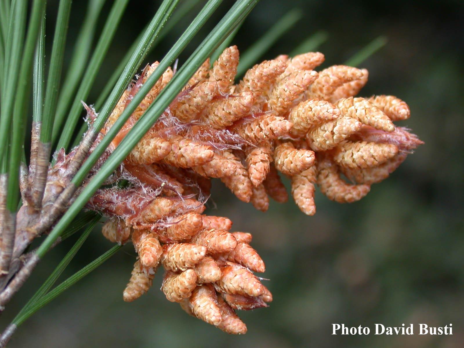 Pinus-halepensis-cones-males.jpg