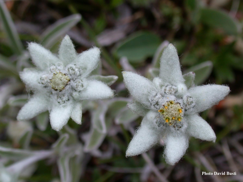 L Edelweiss Une Plante Alpine D Origine Asiatique Departement De