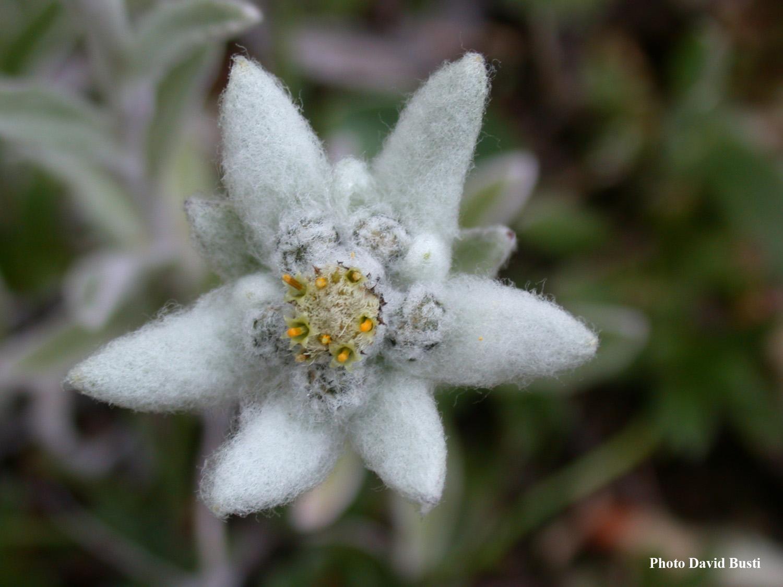 Edelweiss-Leontopodium_alpinum_2.JPG