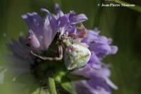 Thomisus onustus araignée fleur