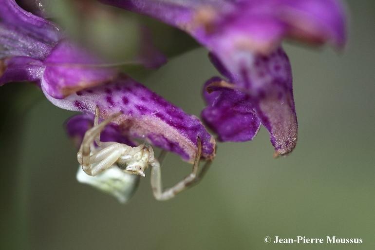 Thomisus onustus araignée orchidée 2