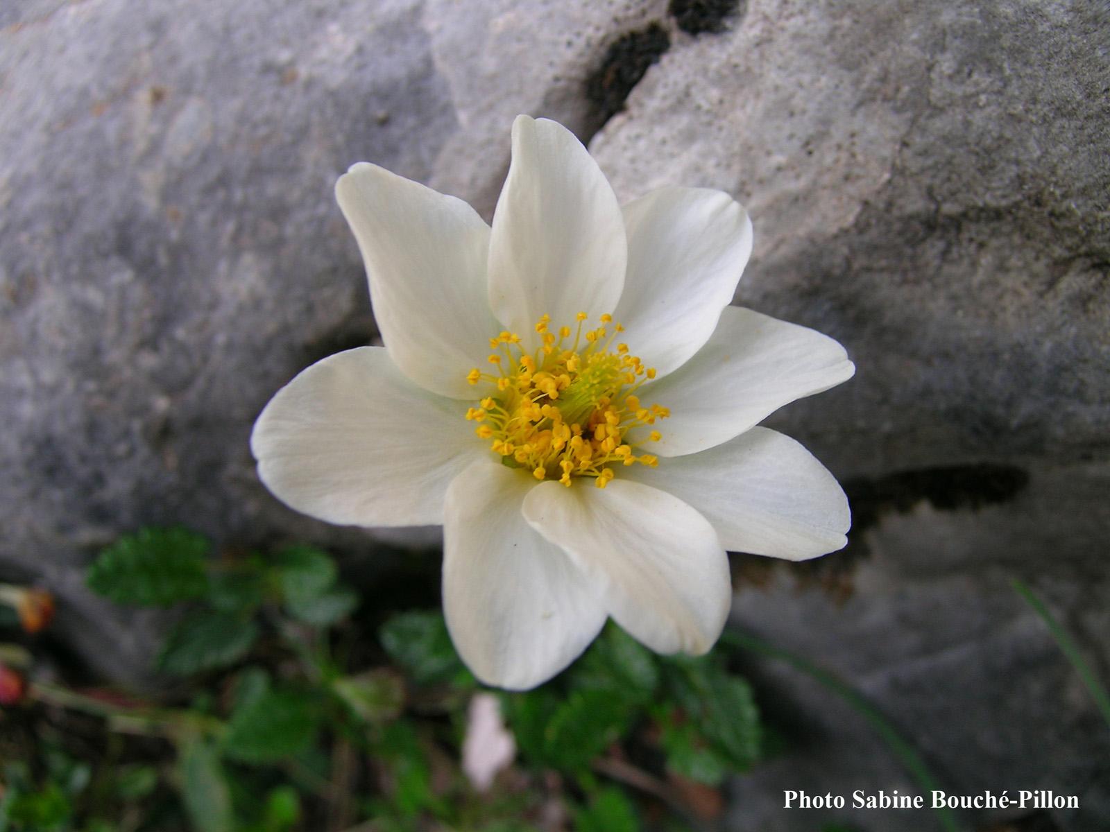 Dryade-Dryas_octopetala-3.jpg