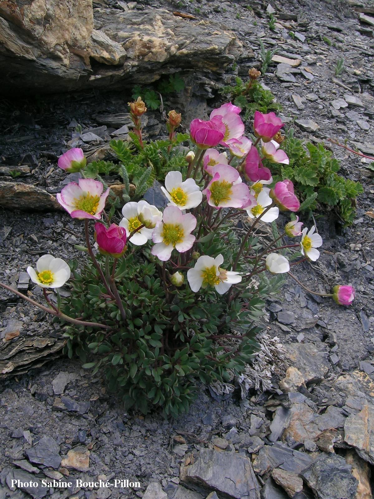 Renoncule_des_glaciers-Ranunculus-glacialis-1.jpg
