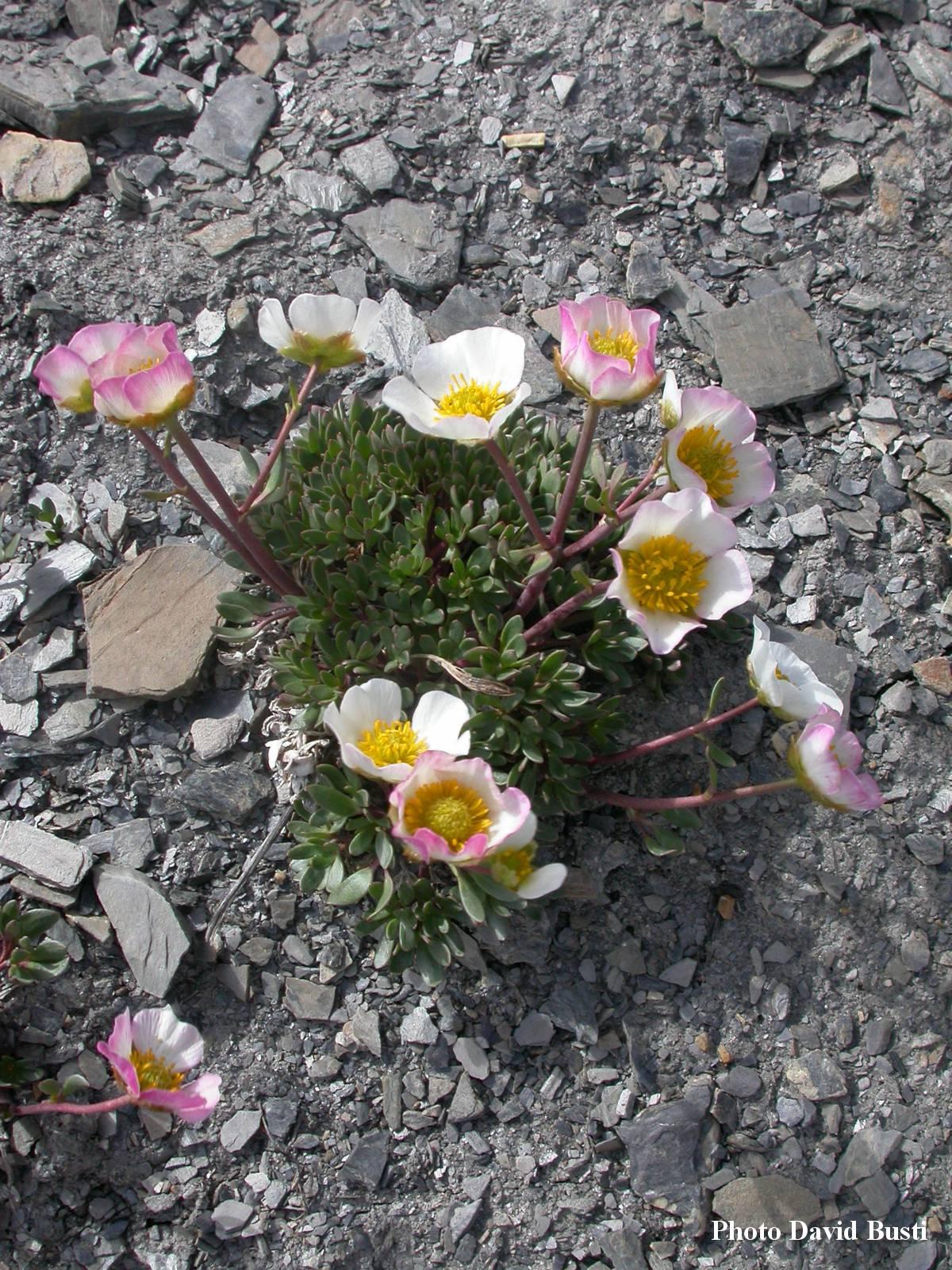 Renoncule_des_glaciers-Ranunculus-glacialis-2.jpg