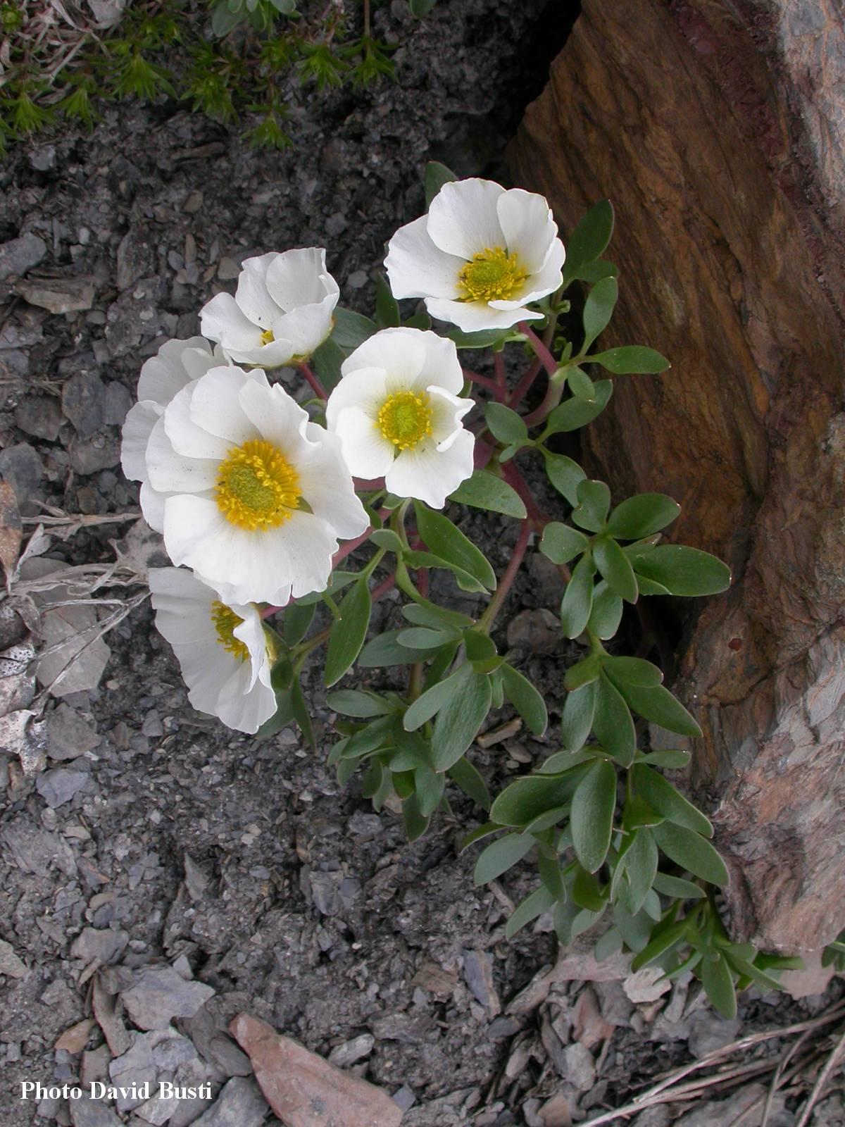 Renoncule_des_glaciers-Ranunculus-glacialis-3.jpg