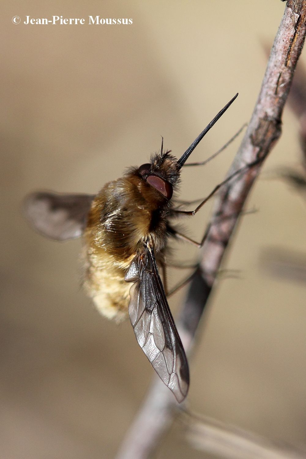 Bombyle_bombylius_major_repos
