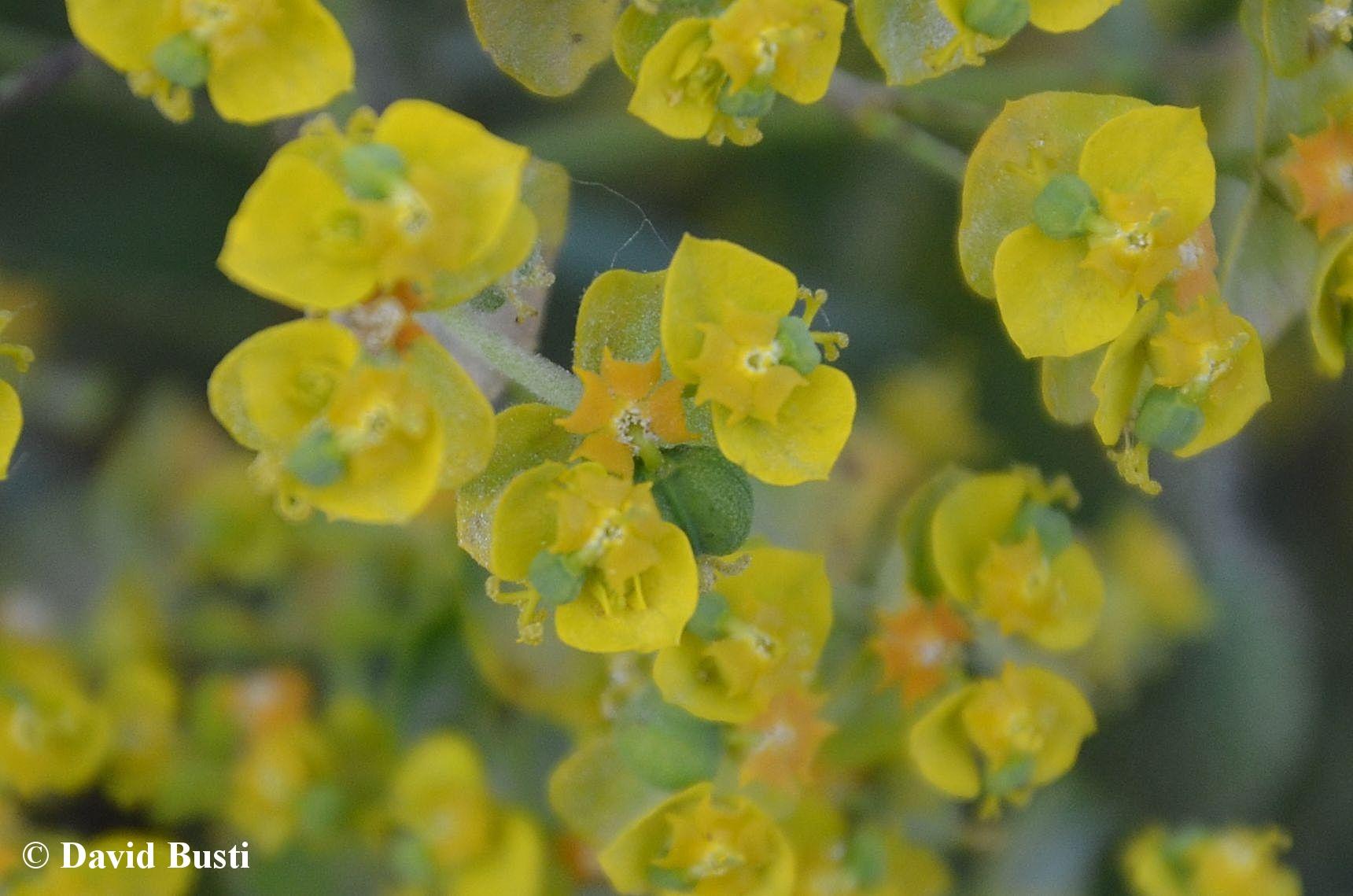 Euphorbia_cyparissias-cyathium.JPG