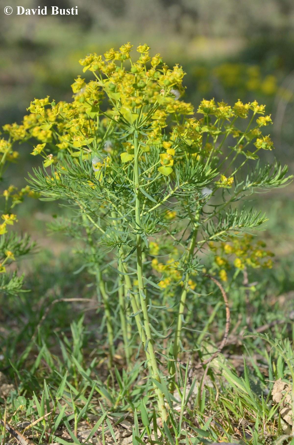 Euphorbia_cyparissias-morphologie.JPG