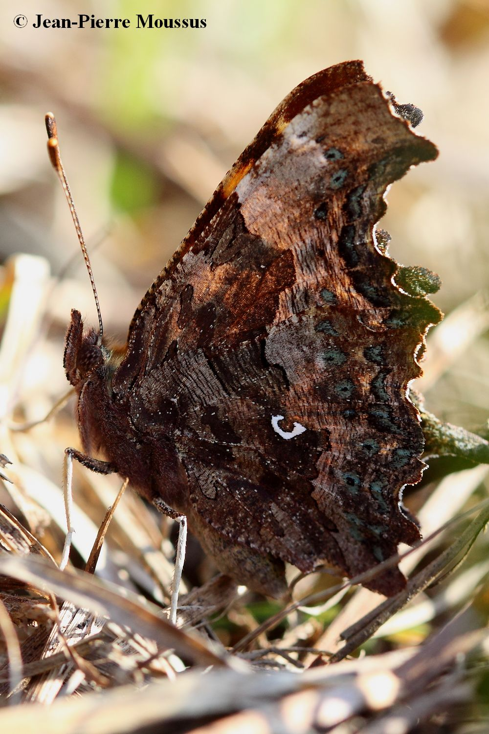 Robert_le_diable_polygonia_c_album_dessous