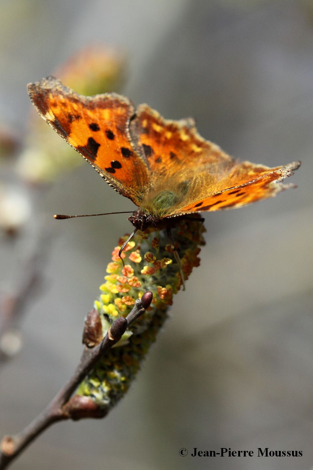 Robert_le_diable_polygonia_c_album_salix_capraea