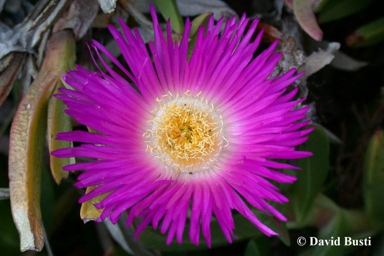 Carpobrotus aff acinaciformis fleur