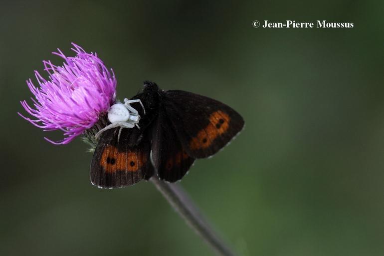 Misumena vatia papillon