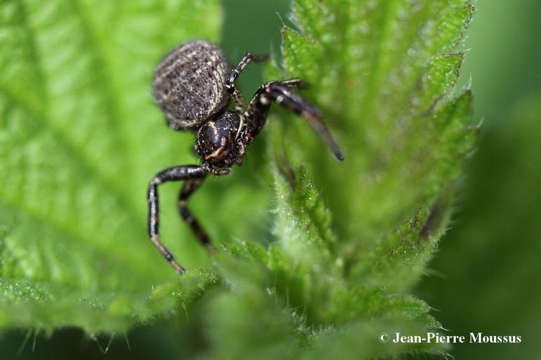 Xysticus cristatus araignee crabe 1