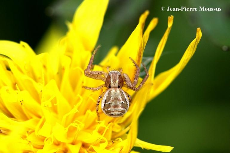 Xysticus cristatus araignee crabe 2