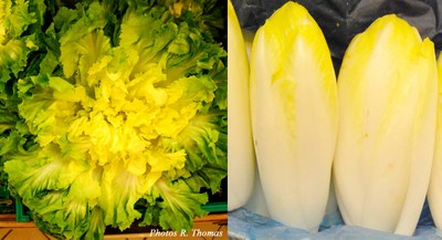 chicoree-et-endive