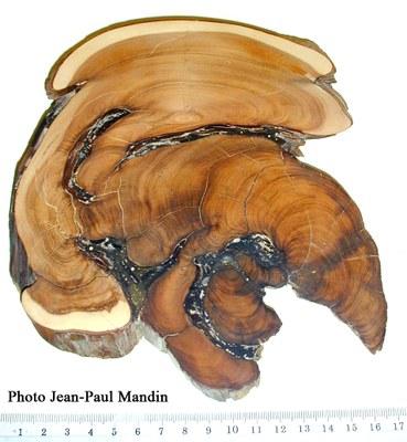 arbre-de-1500-ans-ct