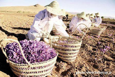 Iran-cueillette-safran