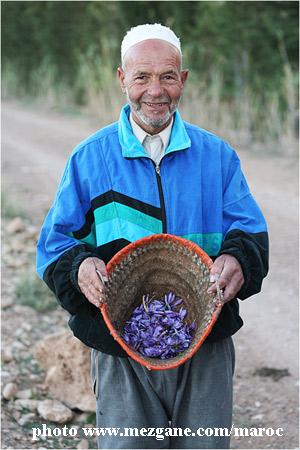 Maroc-cueillette-safran