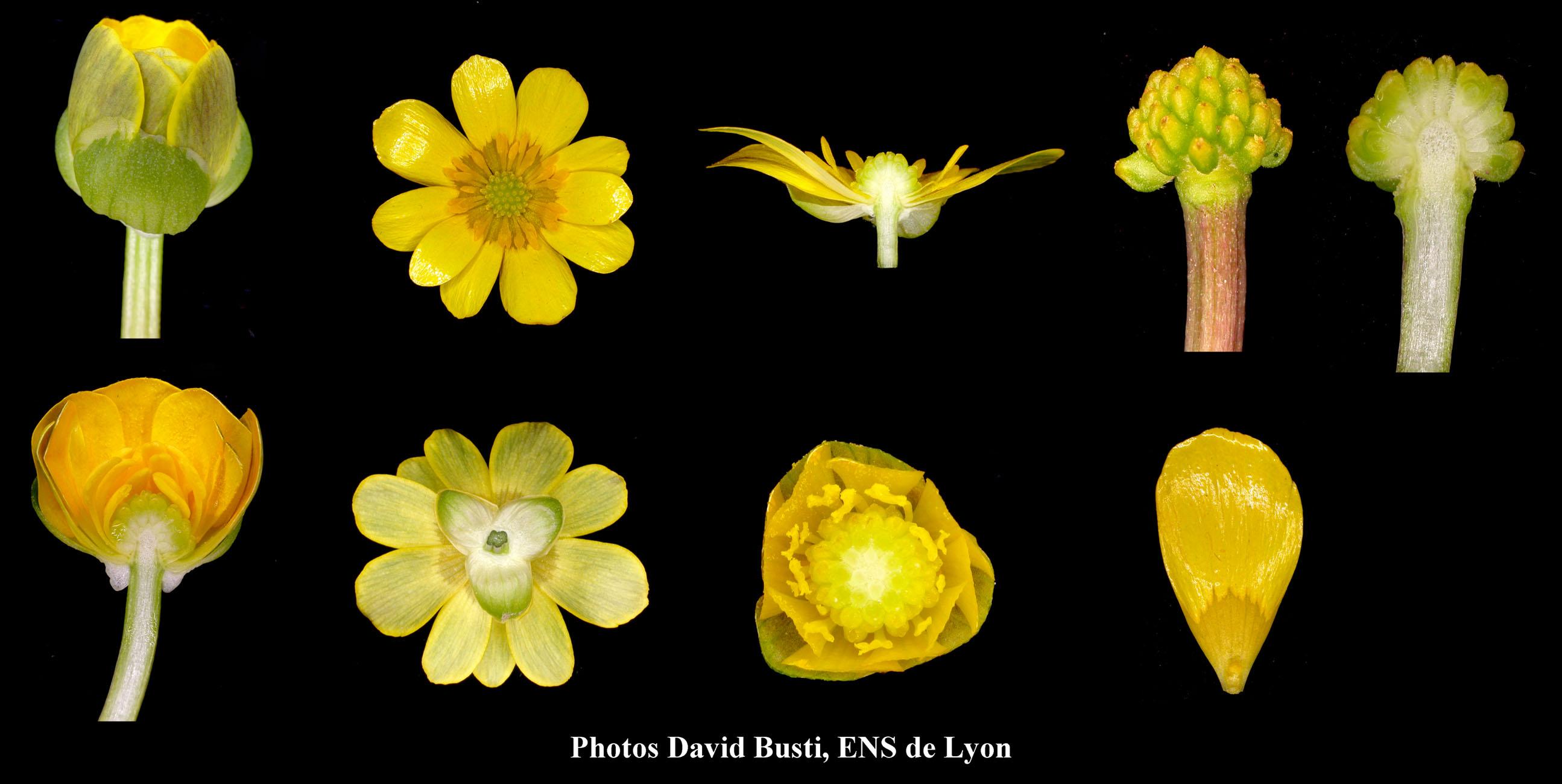 Ficaire-Fleur