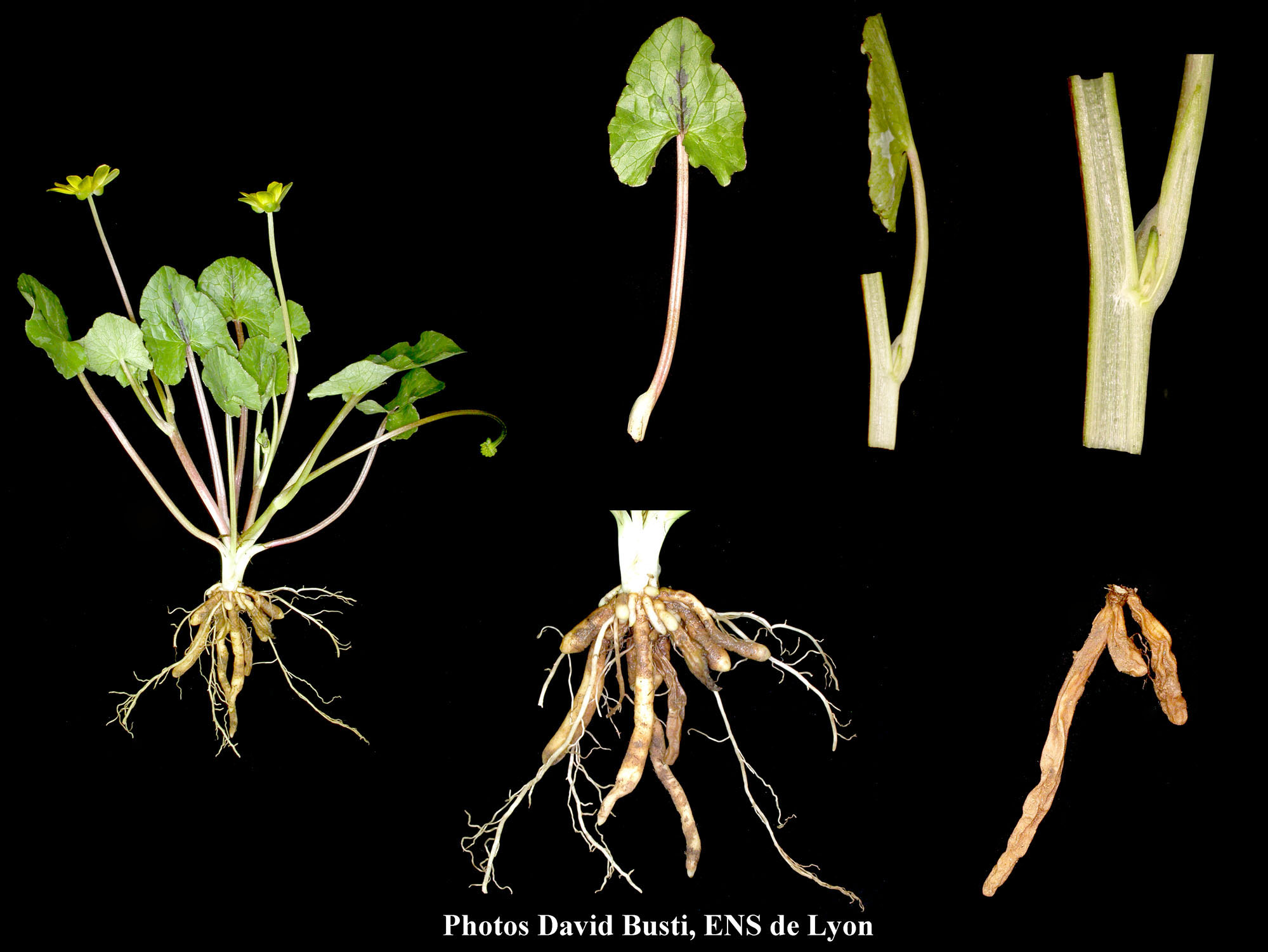 Ficaire-Plante2