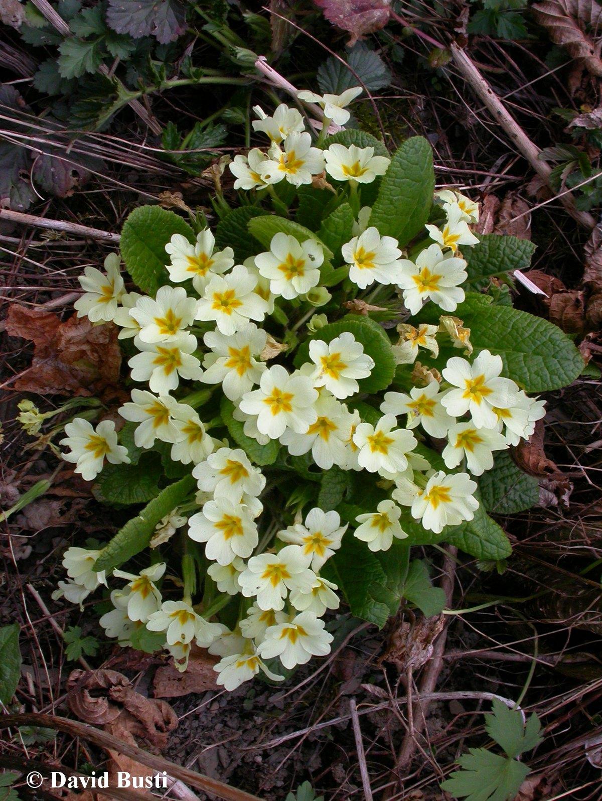 Primula_vulgaris-Primevere_commune.JPG