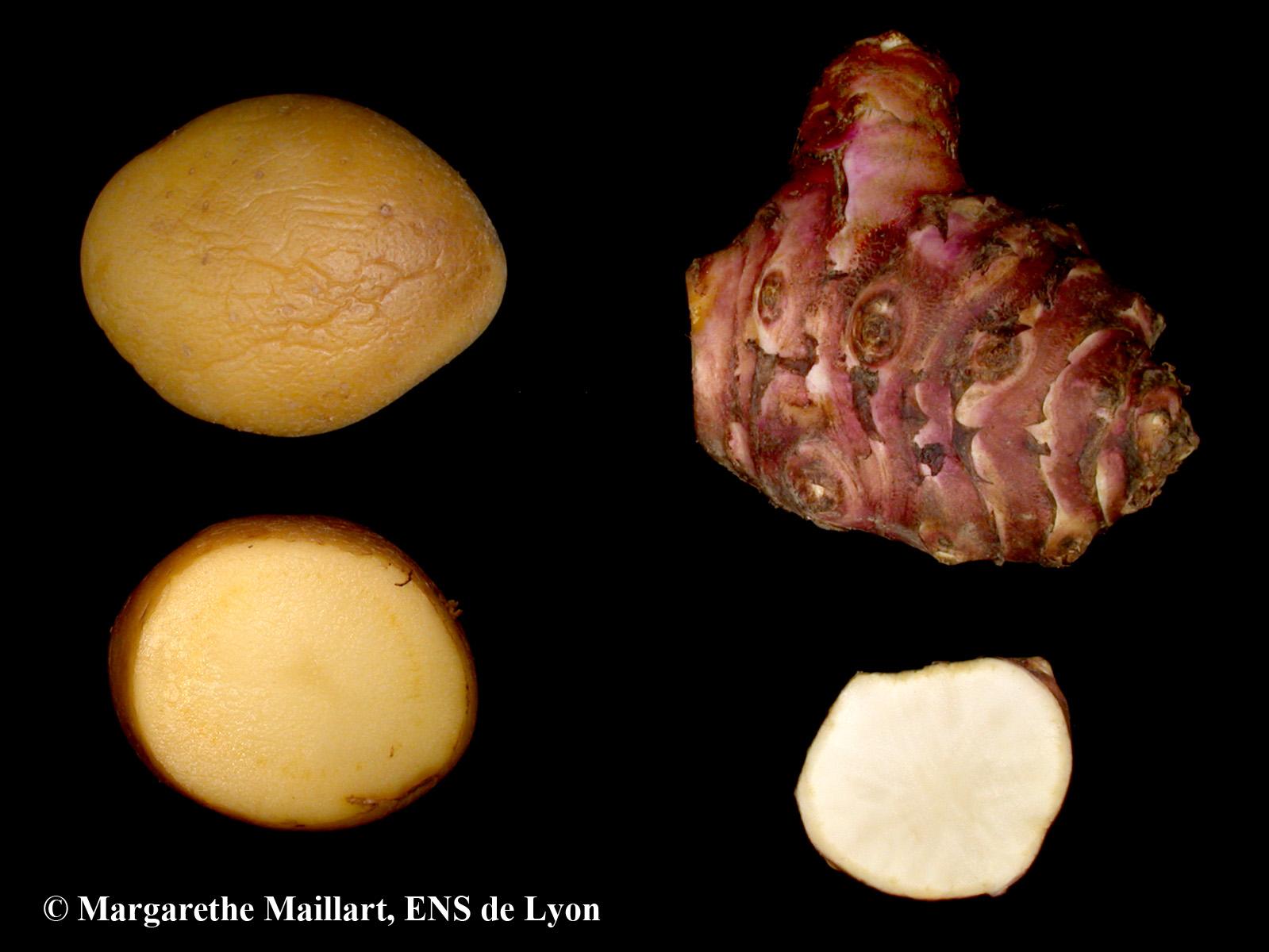 Comparaison-Pomme-de-terre-topinambour.jpg