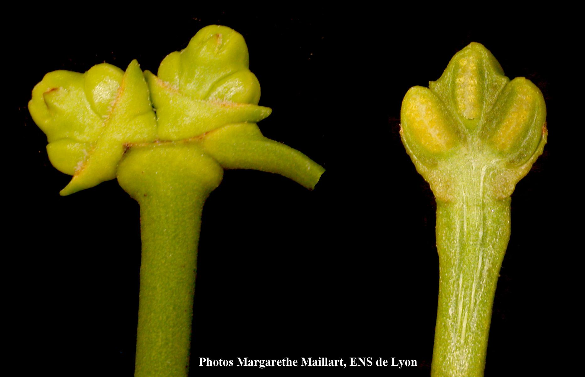 Fleurs-mâles.jpg