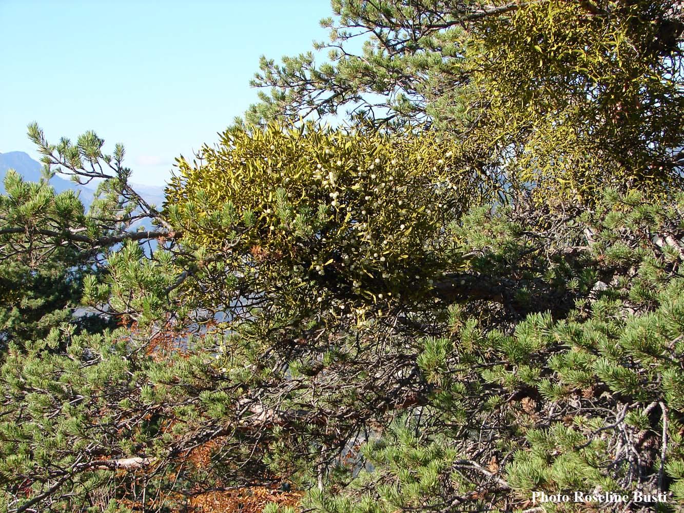 Gui-sur-pin-sylvestre.jpg