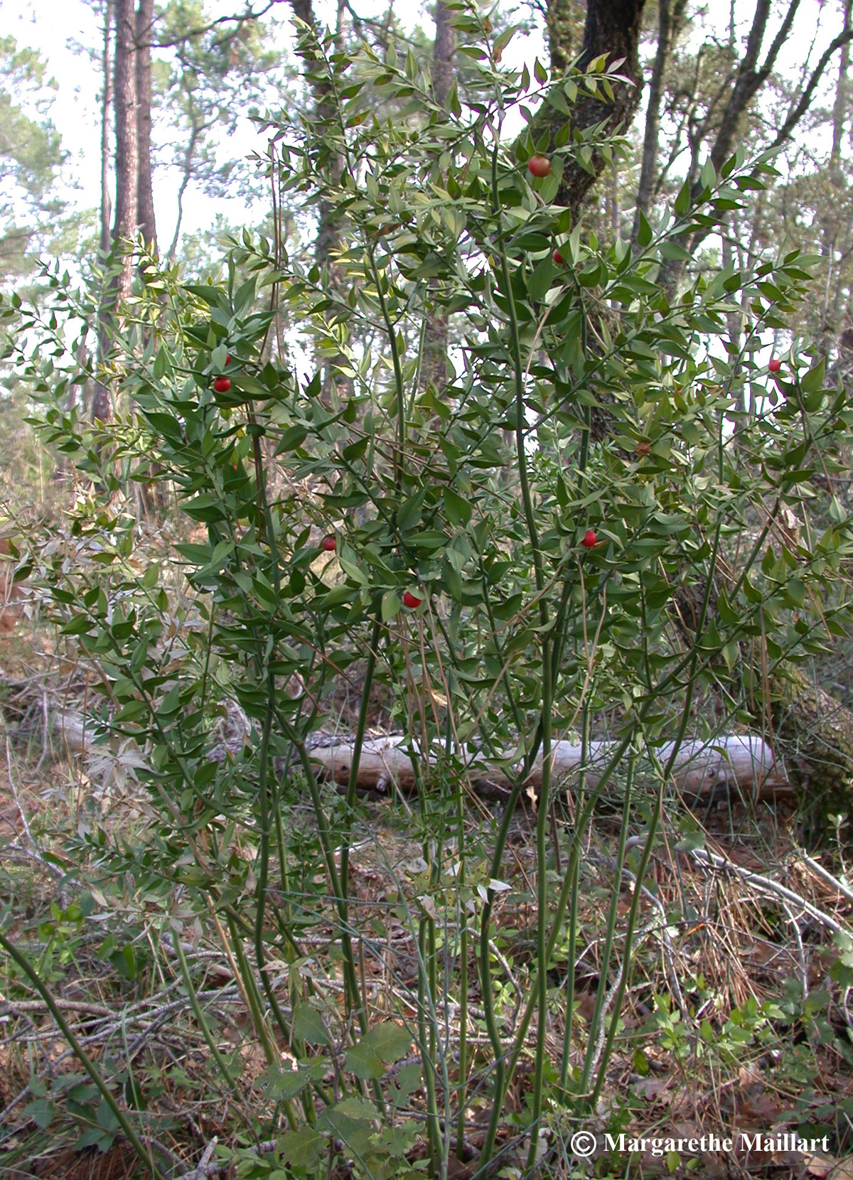 Le houx une plante de no l d partement de biologie for Plante de noel