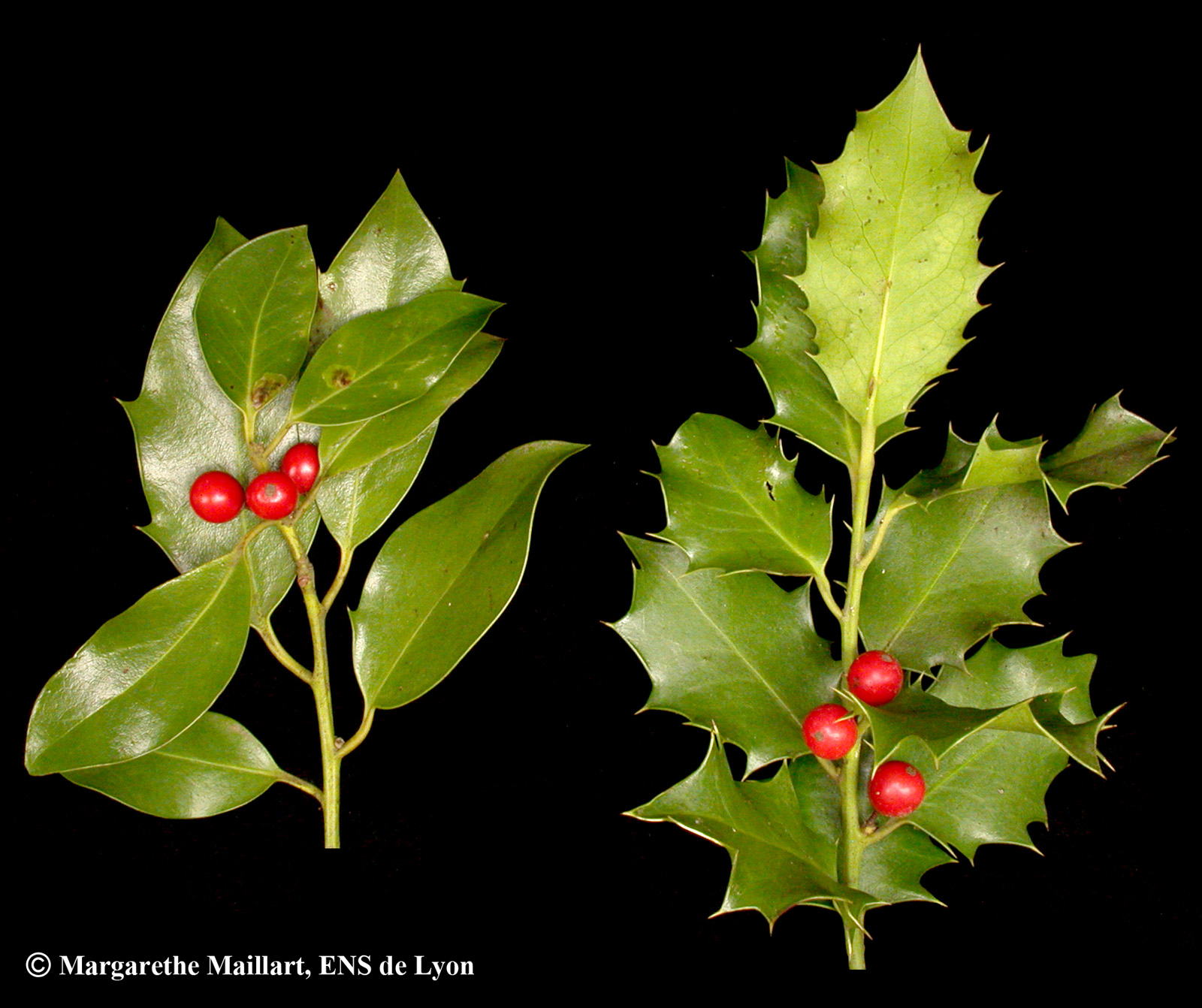 Ordinary plante de noel rouge 4 houx ilex aquifolium for Plante rouge