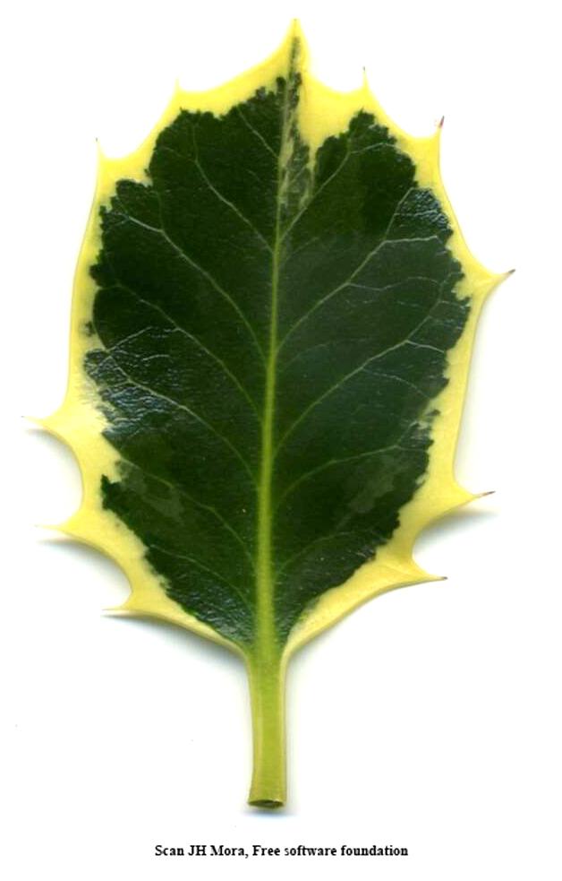 Ilex_aquifolium_aureomarginata.jpg
