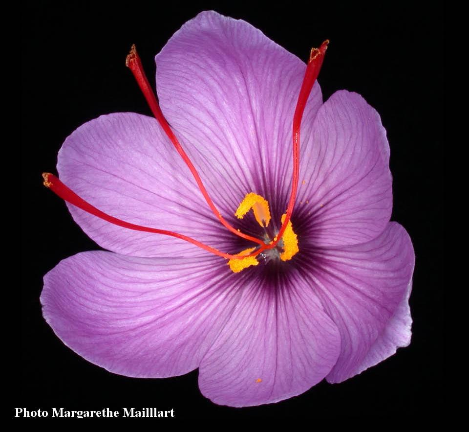 fleur-de-safran-image-dappel
