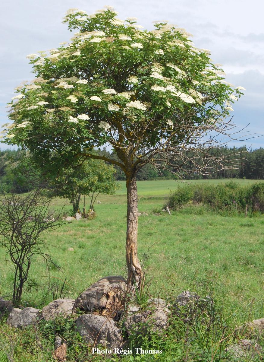 Sureau-noir-arbuste