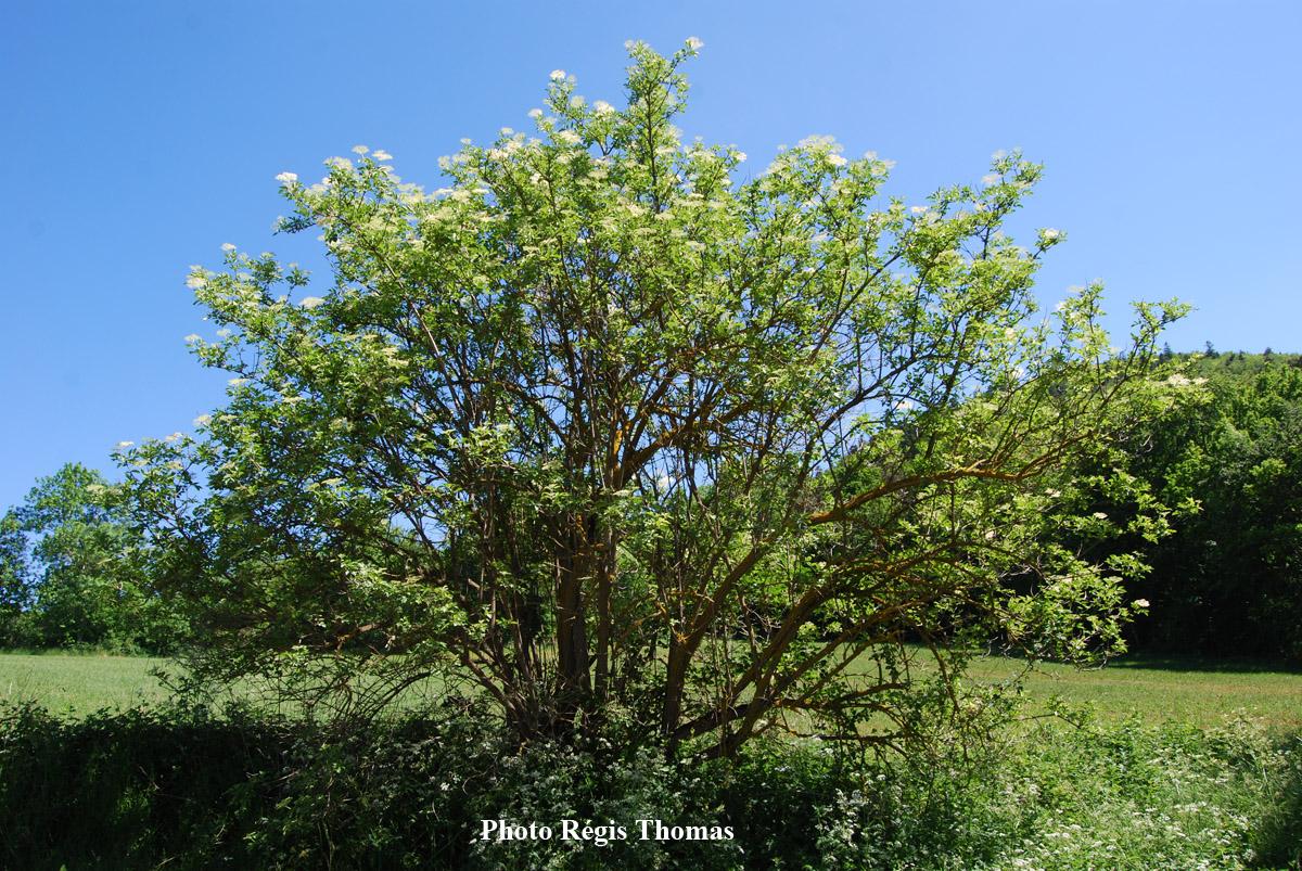 Sureau-noir-buisson2