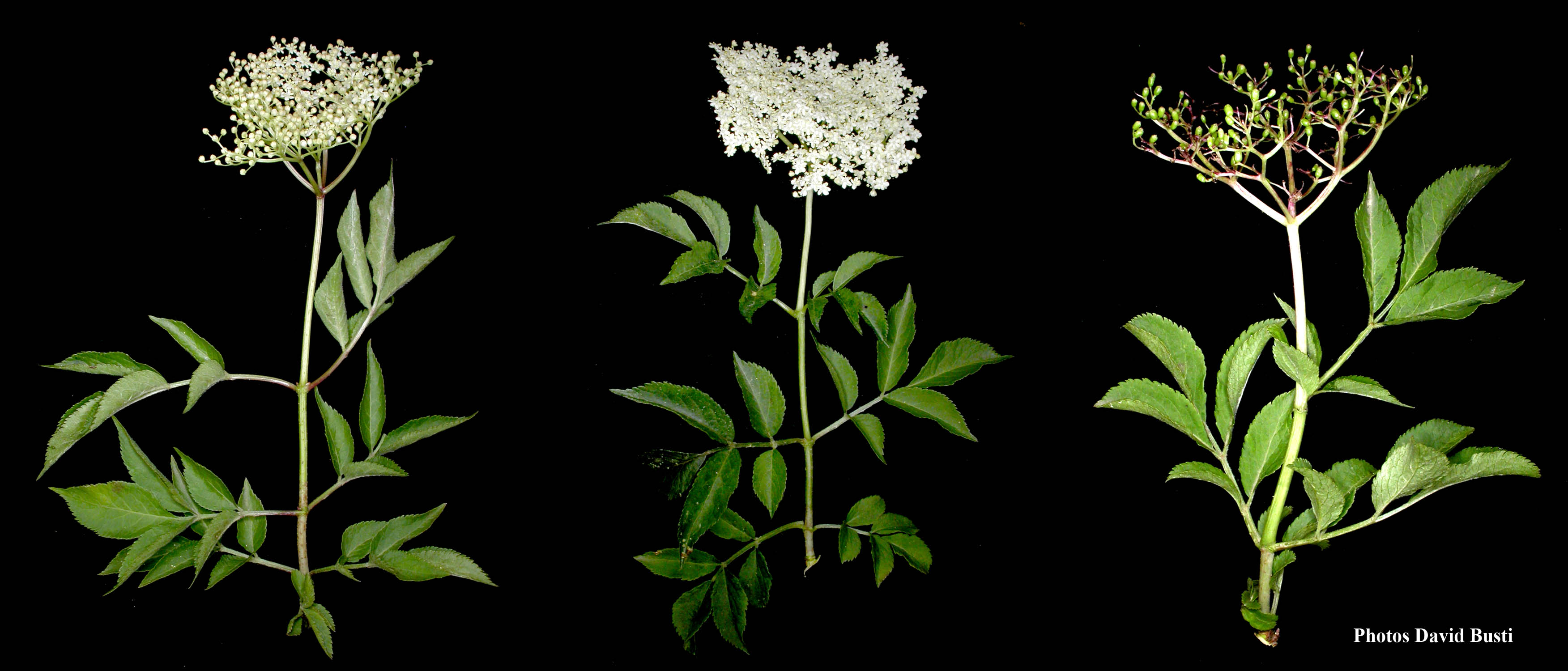 Sureau-noir-inflorescence
