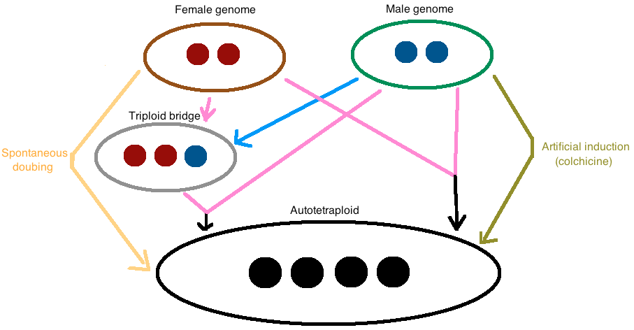 The major mechanisms of autotetraploid formation are shown in this figure.