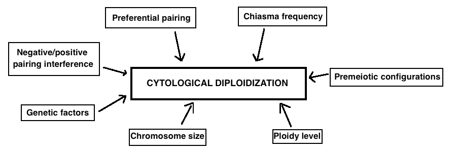 The main factors that are believed to influence cytological diploidization are listed in this figure.