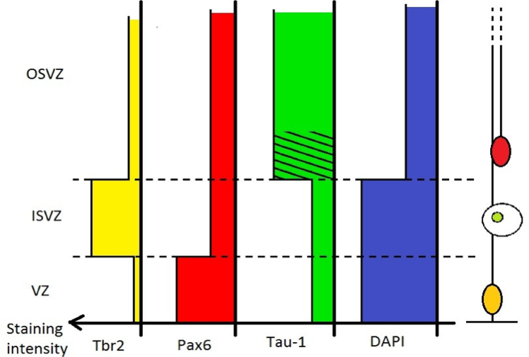 Differential staining intensity for Tbr2, Pax6, Tau-1 and DAPI along the apical-basal axis.