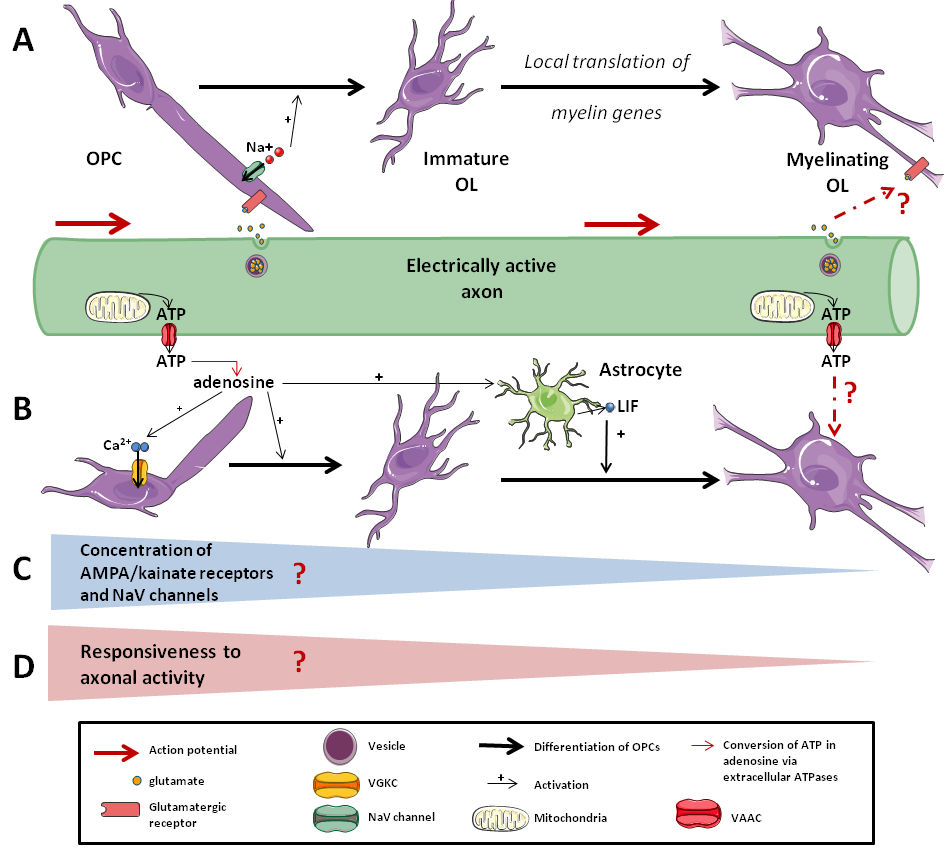Responsiveness of the OLs lineage to axonal activity.