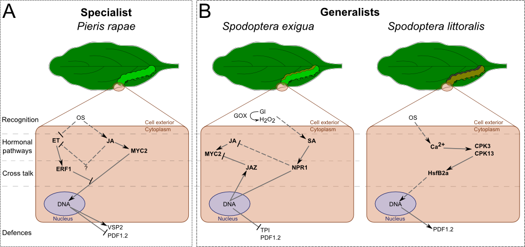 Differential signalling and responses of after the attack of one generalist and one specialist leaf-chewing herbivores.