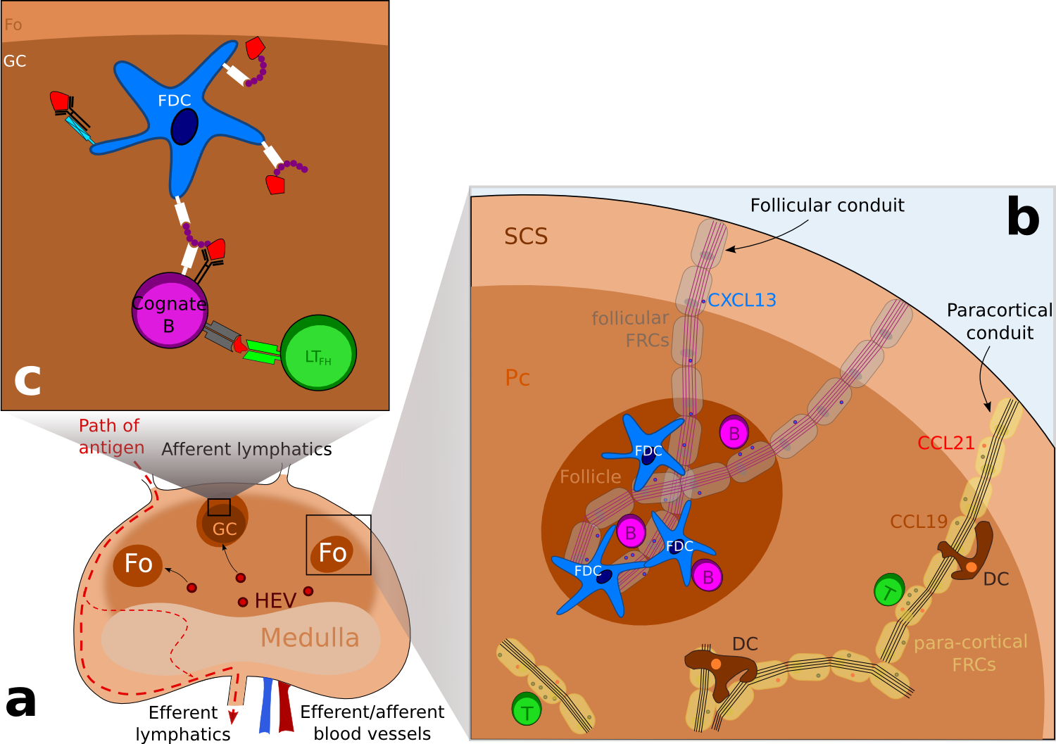 Schematic representation of the structure of a lymph node.
