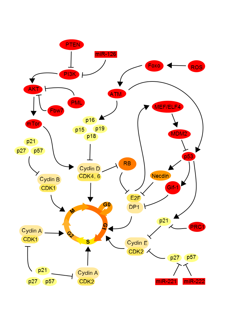 Cell cycle intrinsic regulation.