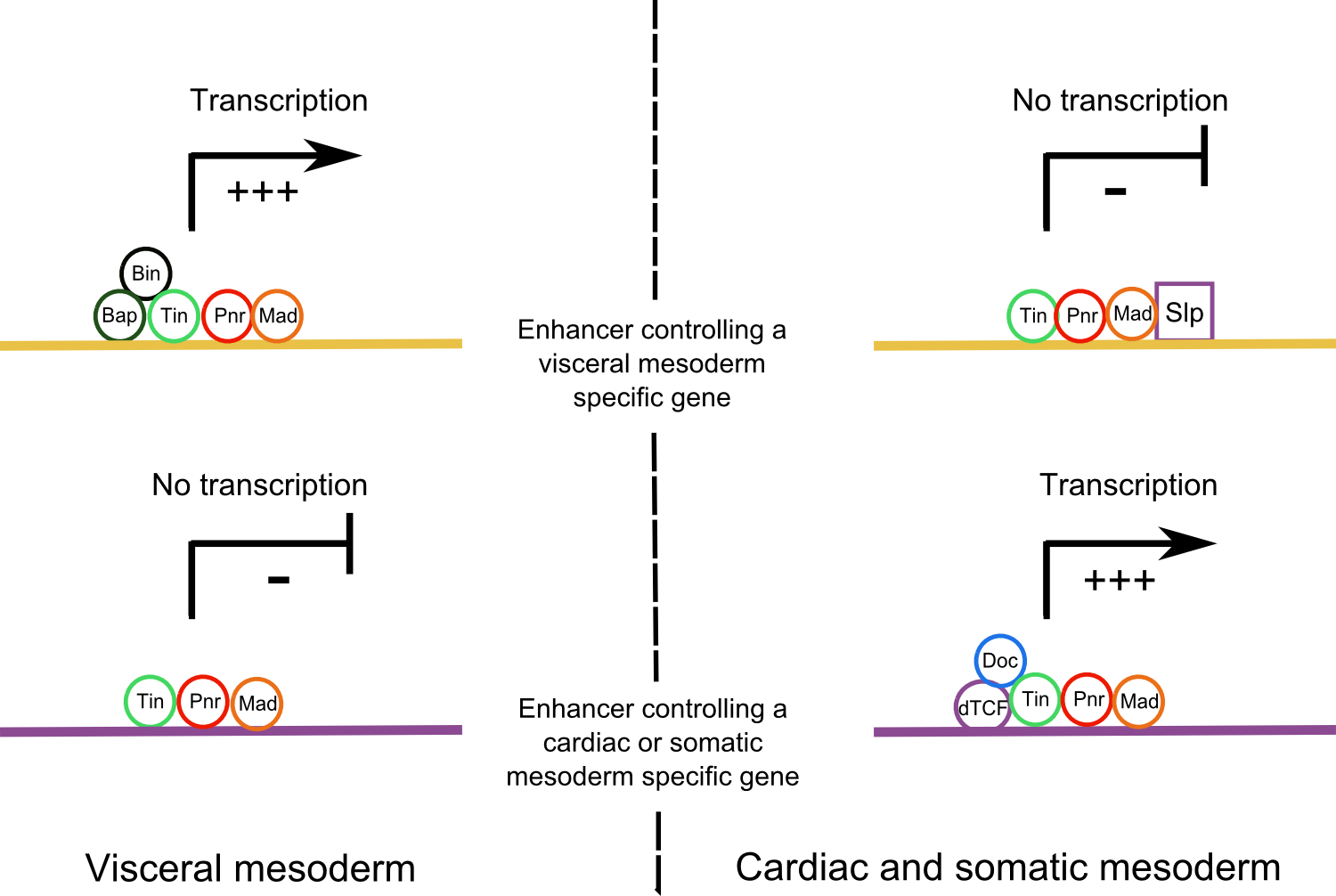 Activation of different downstream enhancers in Wg+ and Wg- domains.