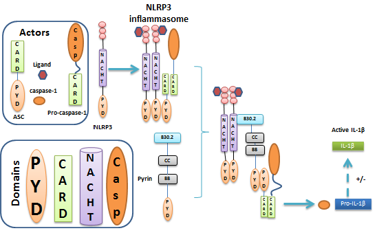Pyrin negatively regulates NLRP3 inflammasome (adapted from Papin et al. [35]).