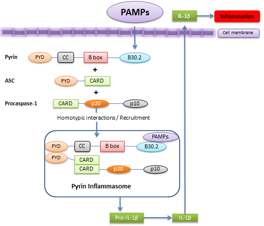 Pyrin positively regulates inflammasome.