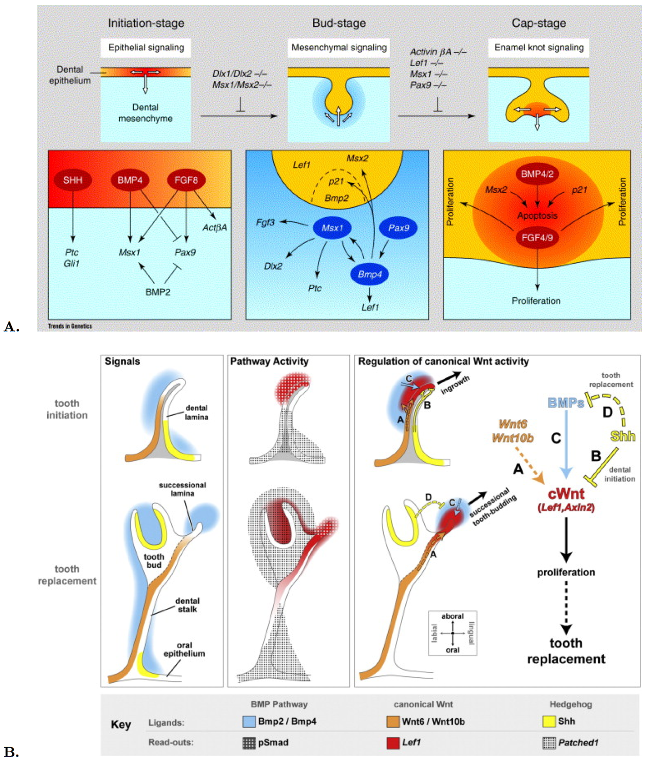 Gene expression and molecular signaling during tooth development in mouse (A) and snake (B).