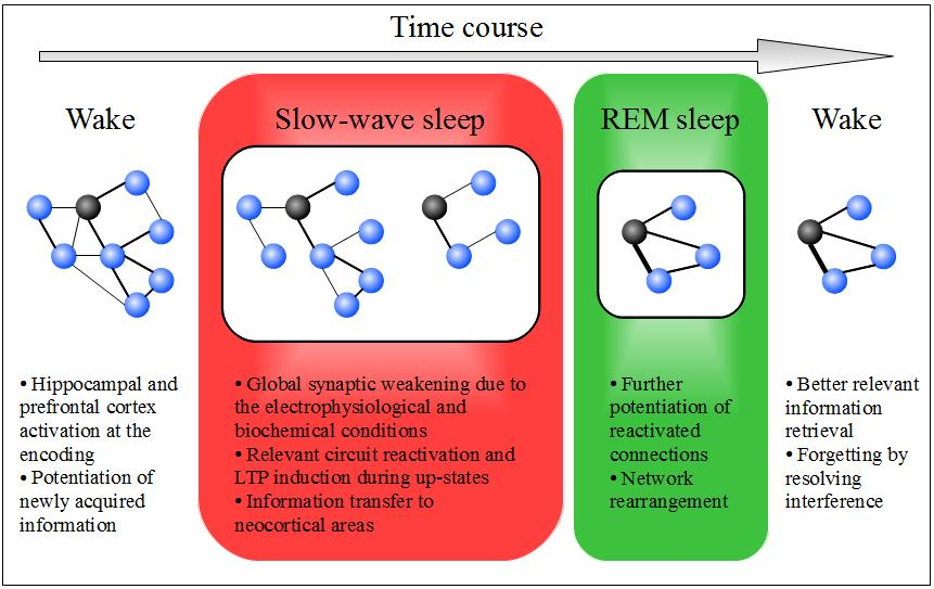 A model for a theoretical forgetting function of sleep.